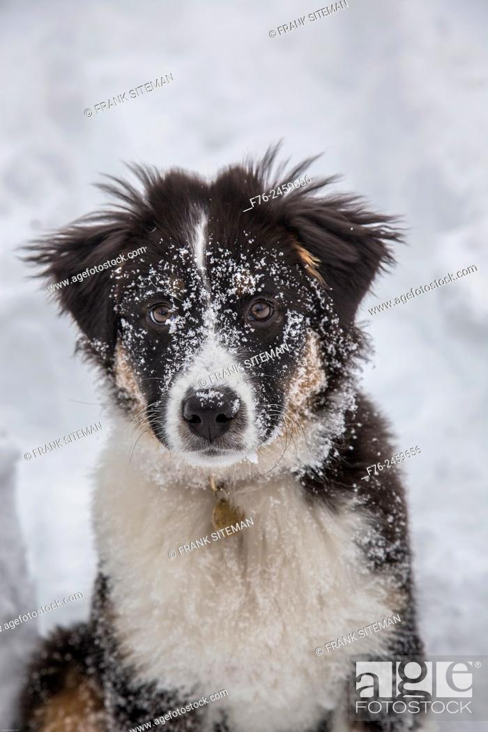 Stock Photo: Young australian shepherd.