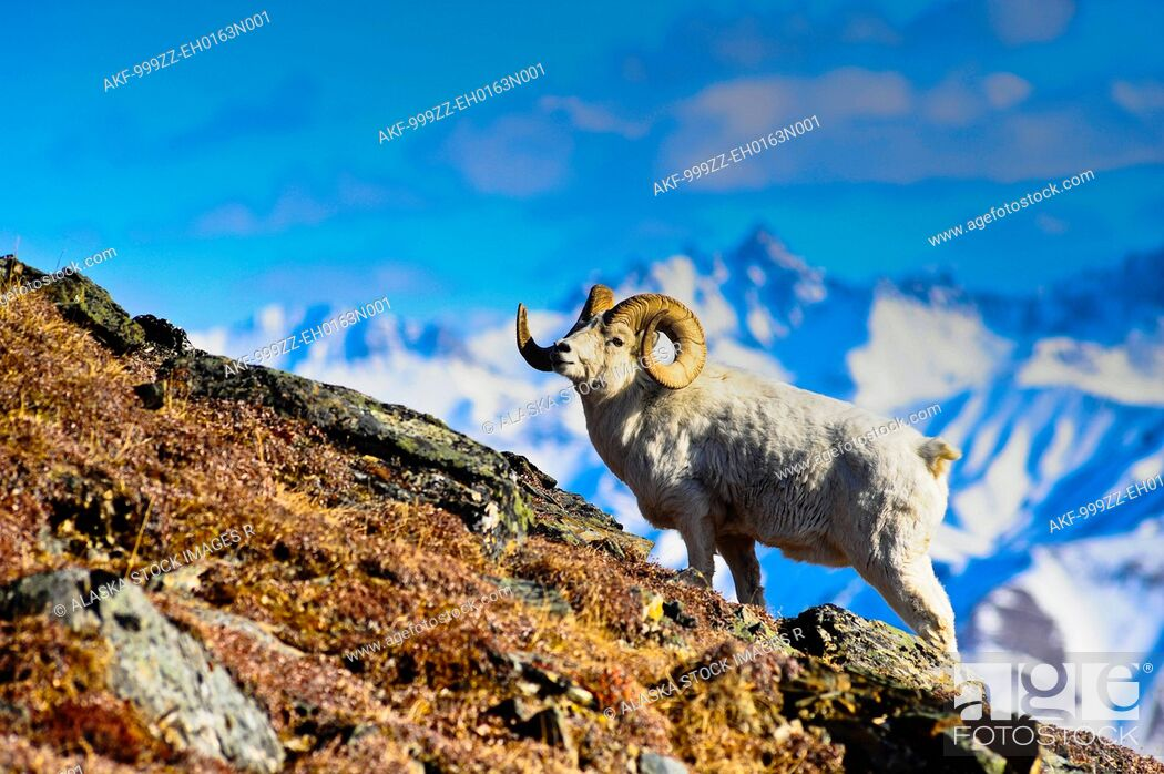 Stock Photo: A full curl Dall sheep ram standing on Mount Margaret with Fang Mountain in the background, Denali National Park and Preserve, Interior Alaska, Spring.