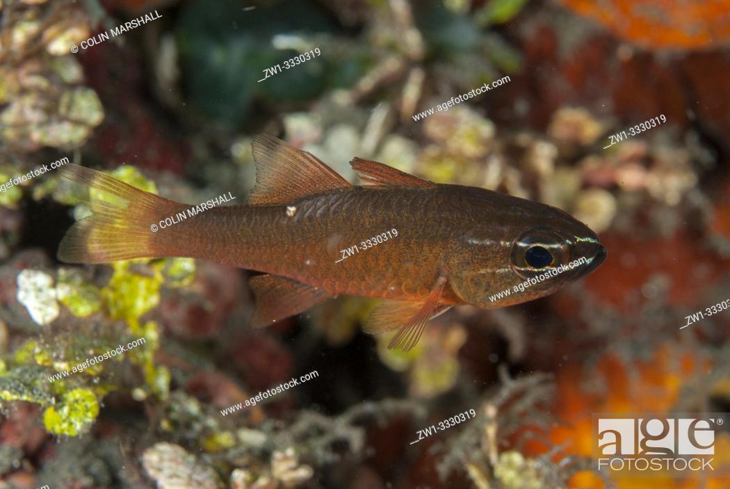 Stock Photo: Moluccan Cardinalfish (Ostorhinchus moluccensis, Apogonidae family), Joleha dive site, Lembeh Straits, Sulawesi, Indonesia.
