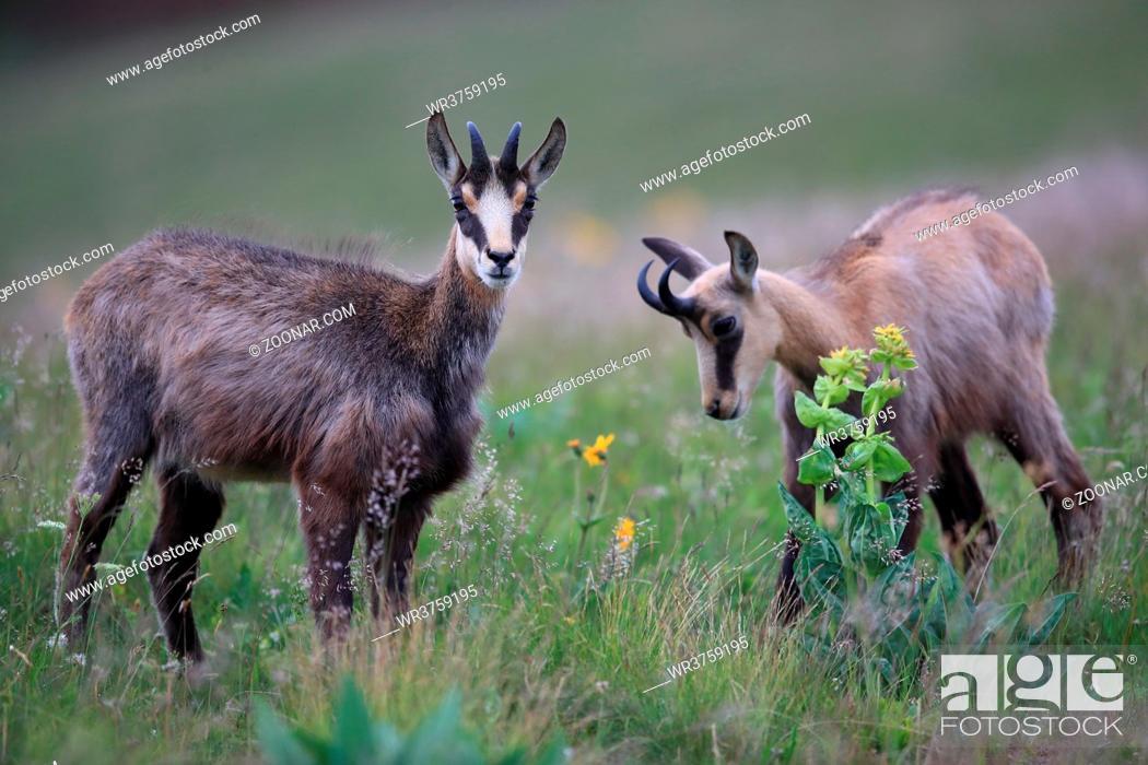 Stock Photo: Chamois (Rupicapra rupicapra) Vosges Mountains, France Gämsen Vogesen.