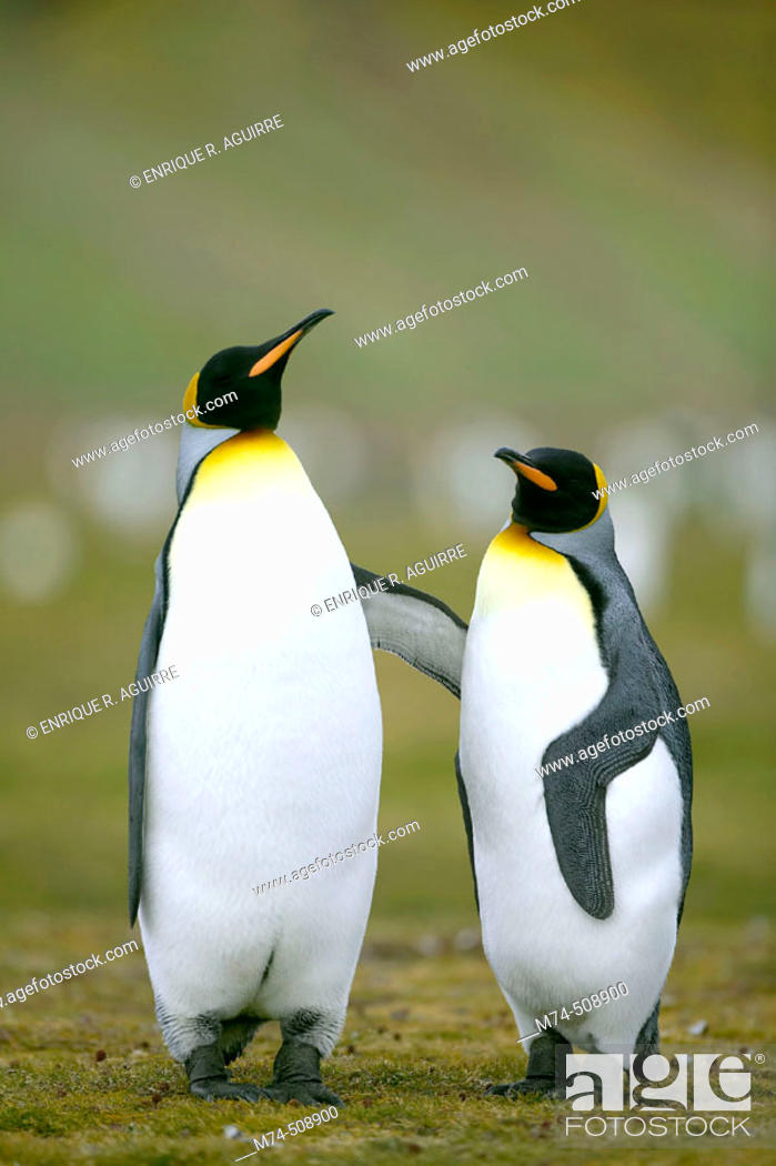 Stock Photo: King Penguin (Aptenodytes patagonicus). South Georgia.
