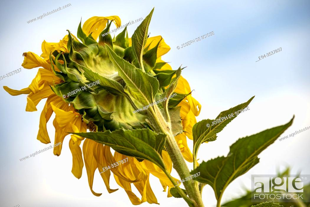 Stock Photo: Back view of Sunflower leaves and petals, close up and detail.