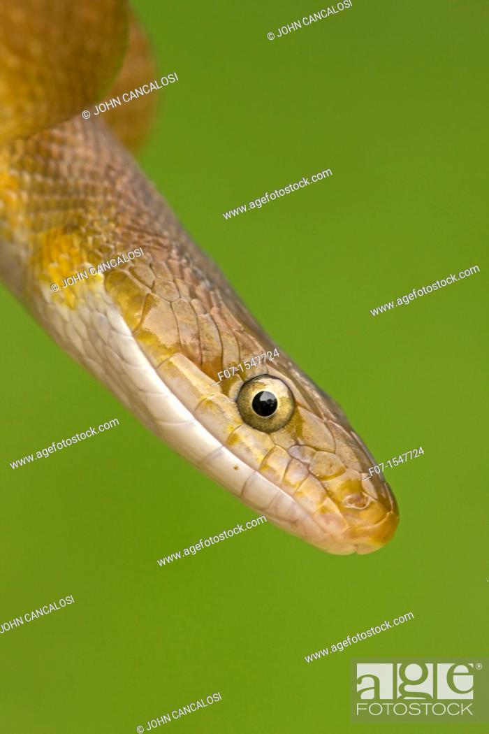 Stock Photo: Tropical Rat Snake Senticolis triaspis. Costa Rica, found from Arizona to Costa Rica. constrictor. Santa Rosa National park, tropical dry forest.