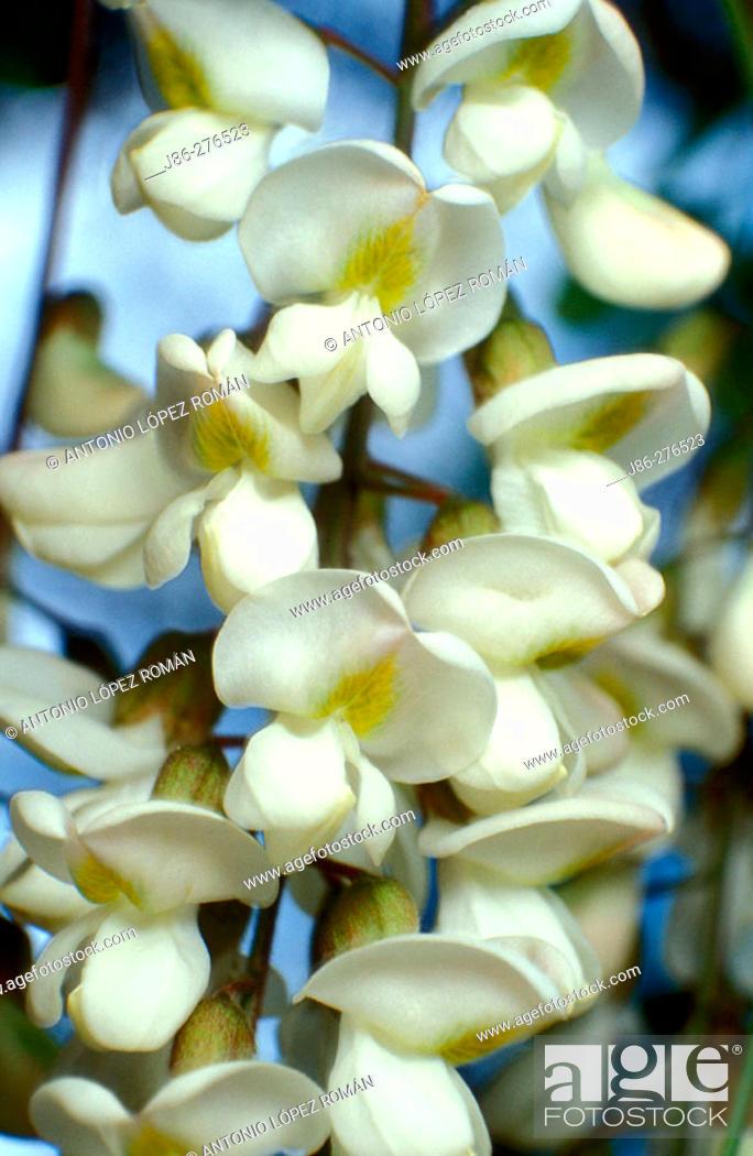 Stock Photo: Black Locust (Robinia pseudoacacia) flowers.