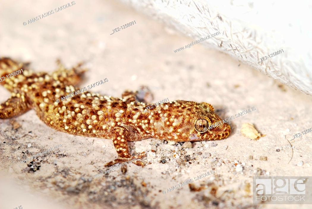 Mediterranean House Gecko Or More Commonly Turkish Gecko