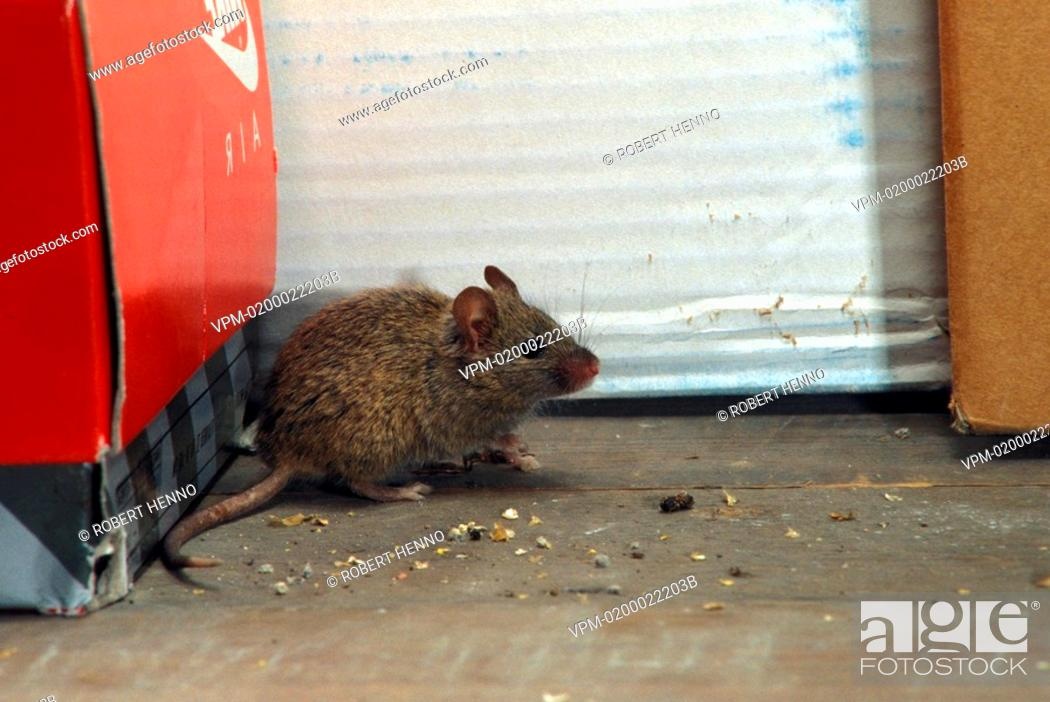 Stock Photo: MUS MUSCULUSHOUSE MOUSE.