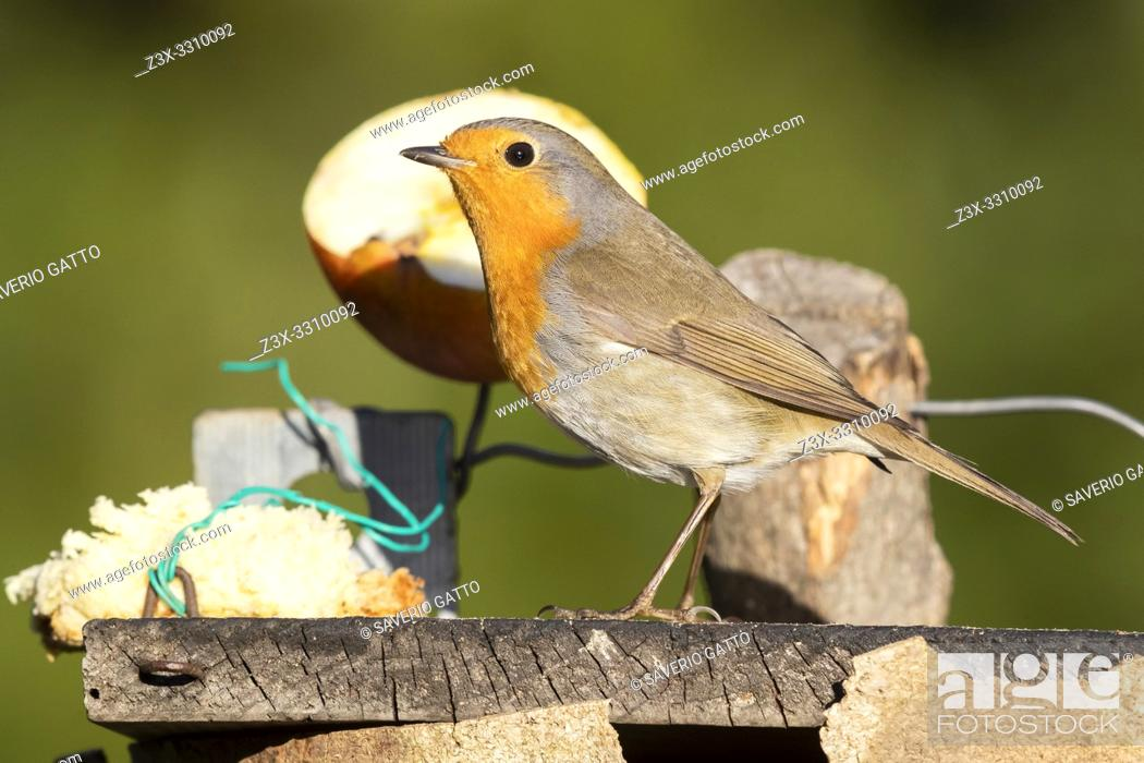 Stock Photo: European Robin (Erithacus rubecula), side view of an adult standing on a bird feeder, Campania, Italy.