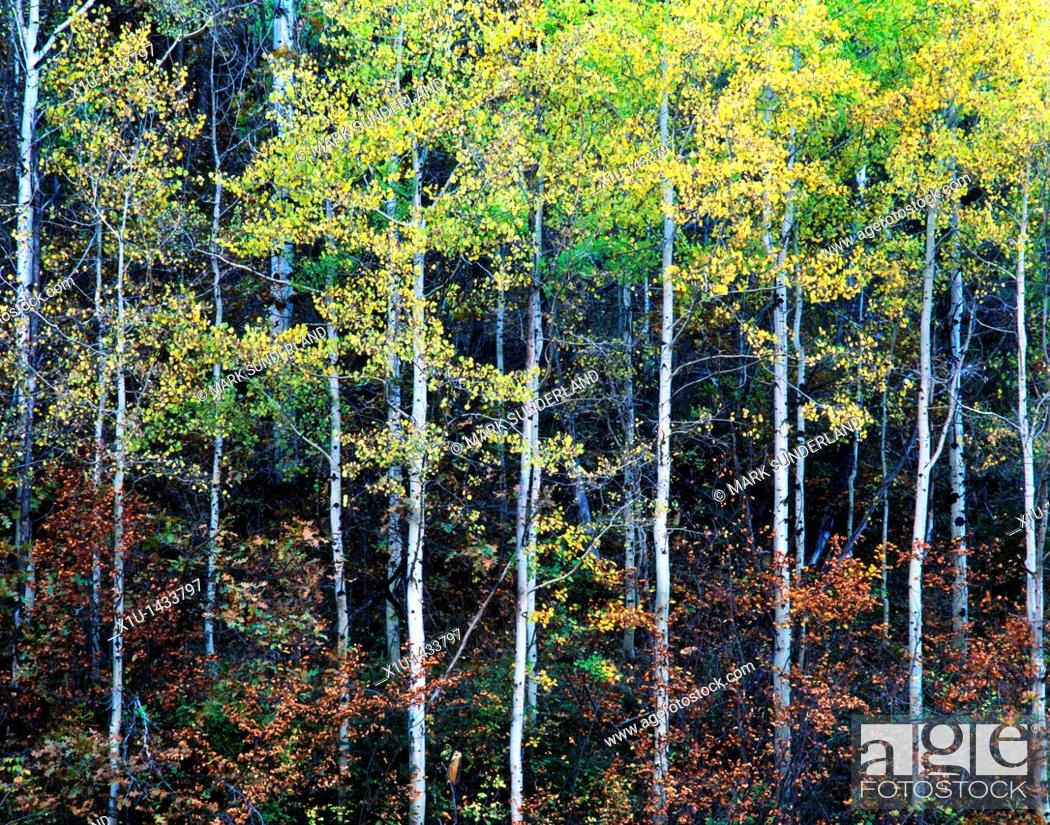 Stock Photo: Aspen Trunks III.