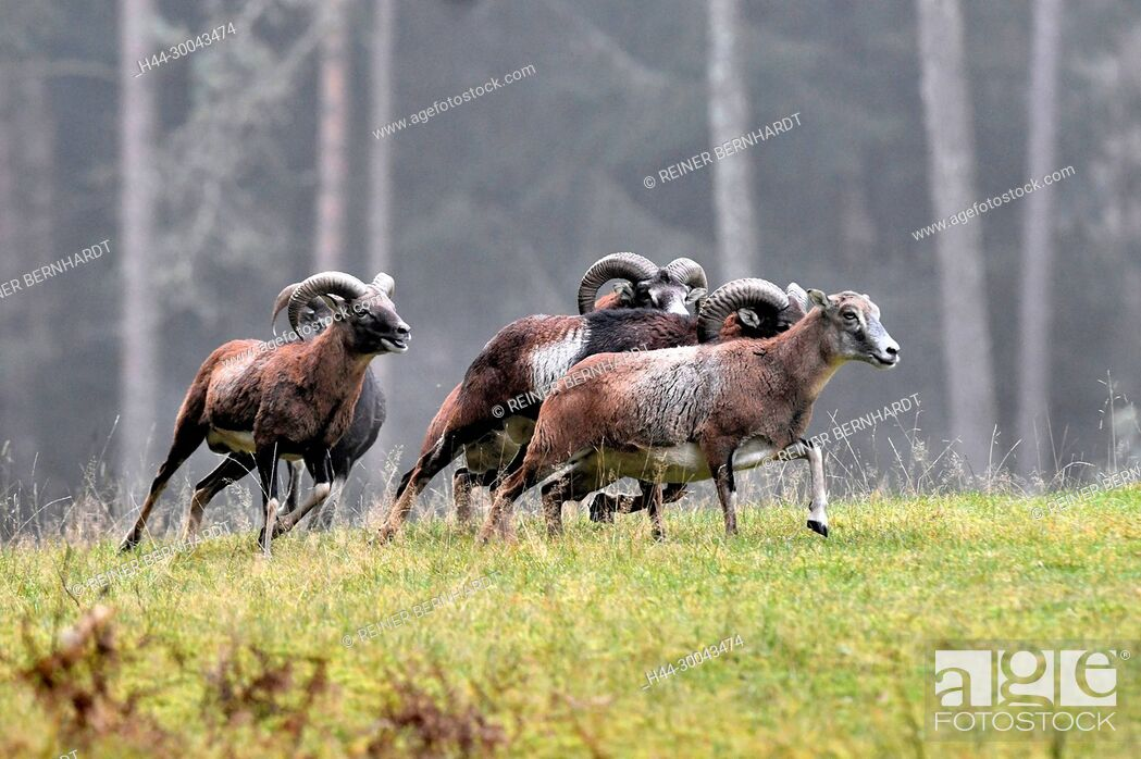 Stock Photo: Mountain sheep, rut of the Mufflons, ruttish Arieses, horn-rimmed bearers, horns, muzzle spot, Mufflon, Mufflonbrunft, Mufflons, Mufflons in autumn.