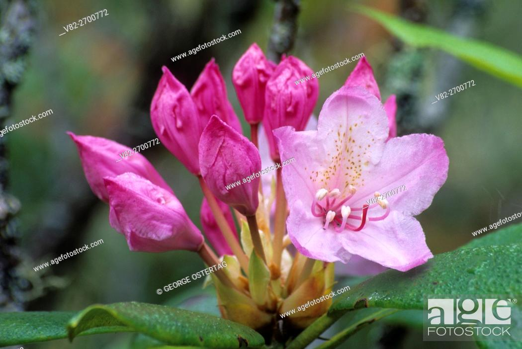 Stock Photo: Pacific rhododendron (Rhododendron macrophyllum), Umpqua Dunes Scenic Area, Oregon Dunes National Recreation Area, Oregon.