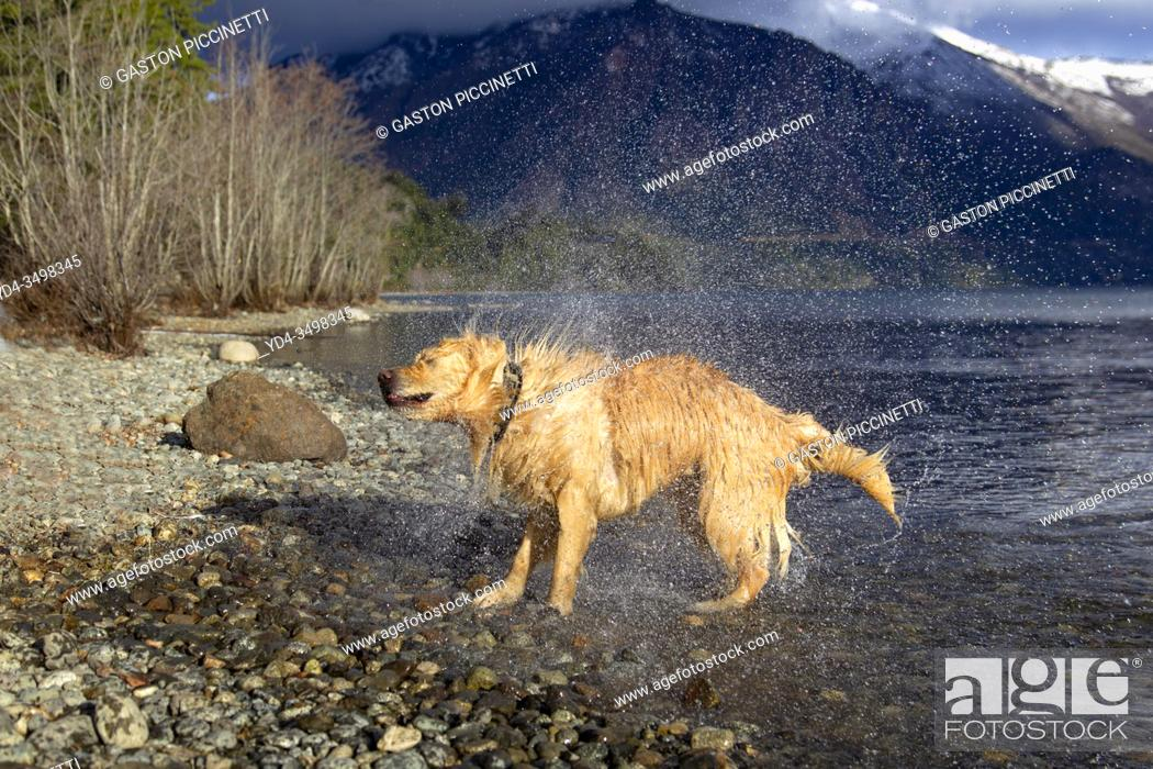 Stock Photo: San Carlos of Bariloche, Rio Negro, Argentina. August 24 2018: Golden Retriever shaking to dry after getting into the water, Gutierrez Lake, Bariloche.