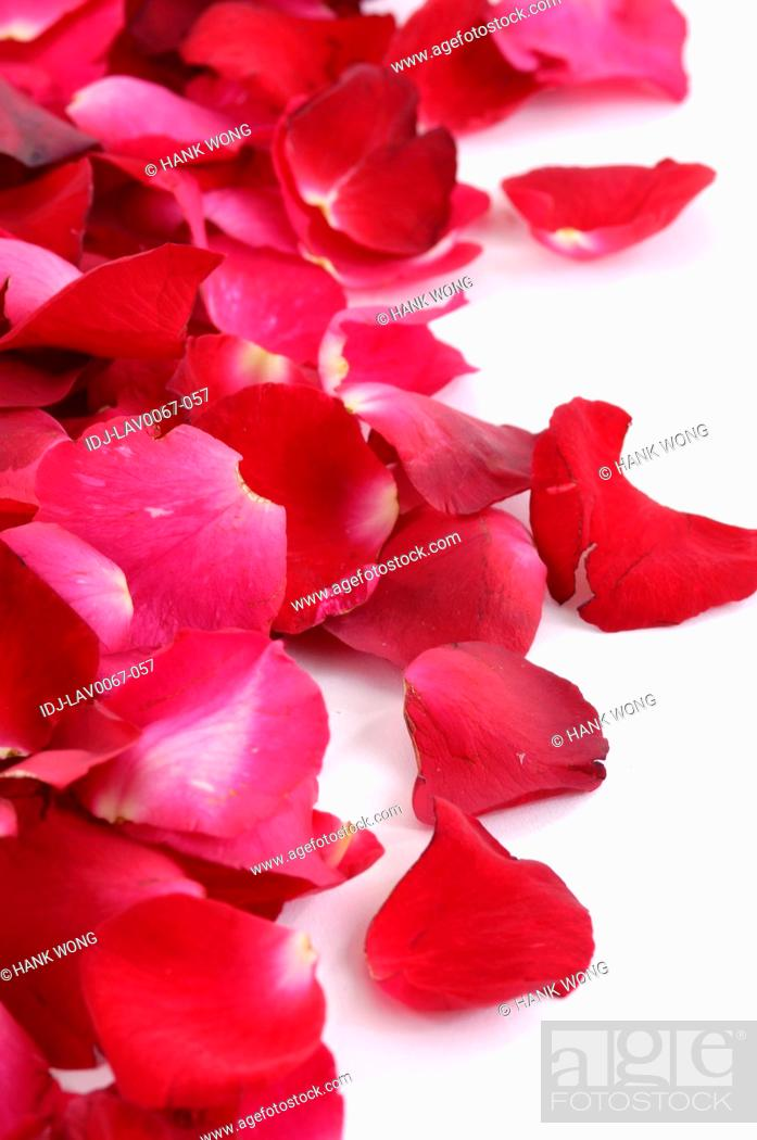 Stock Photo: Rose petals against white background.