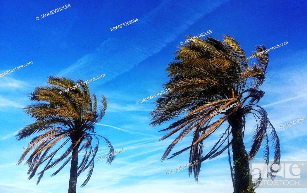 Stock Photo: Palm trees, Caldes d'Estrac, Maresme, Barcelona province, Catalonia, Spain.