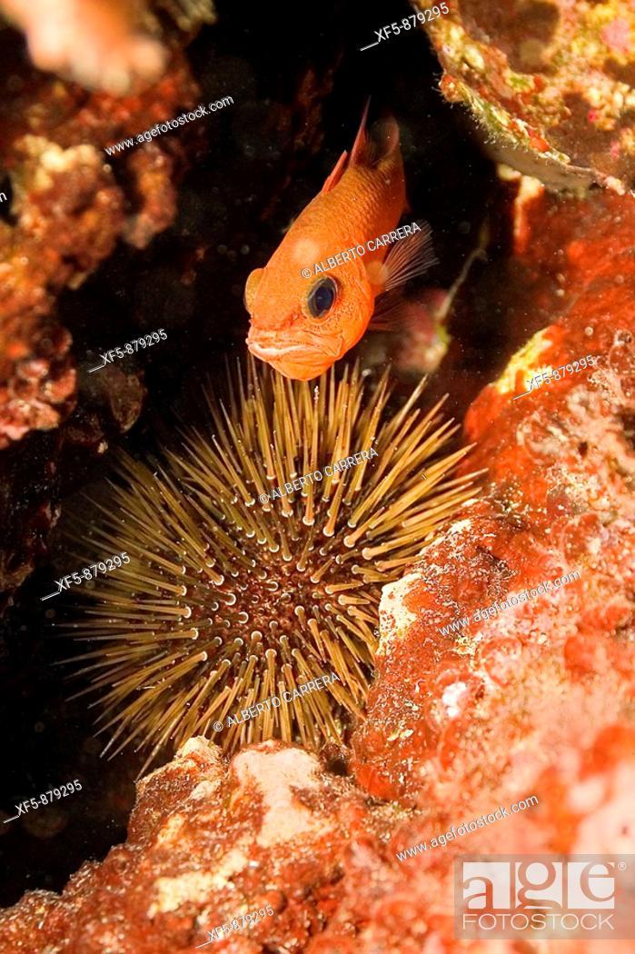 Stock Photo: Paracentrotus lividus, Erizo de Mar, Mar Mediterráneo.