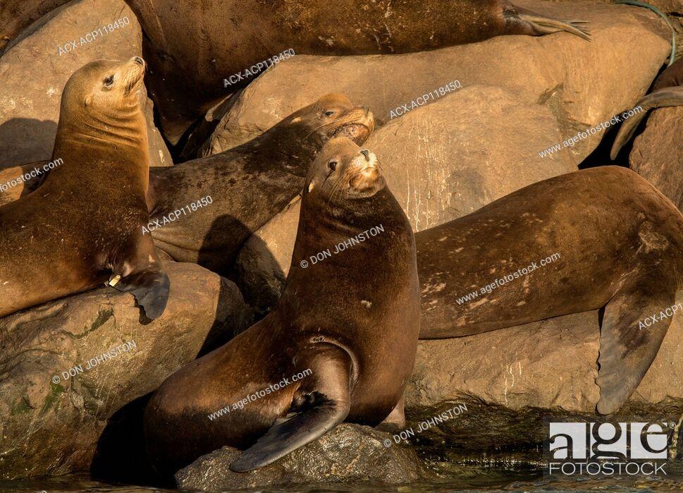 Stock Photo: California sea lion (Zalophus californianus) Hauled out on jetty rocks, Newport, Oregon, USA.