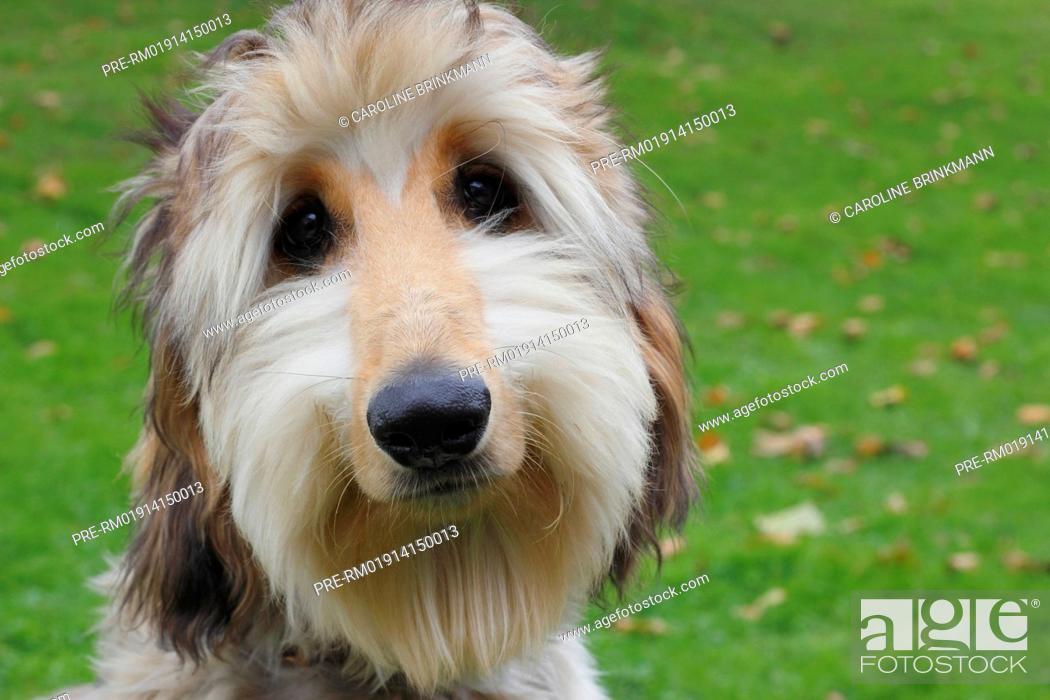 Imagen: Afghan Hound, 6 month old / Afghanischer Windhund, 6 Monate alt.