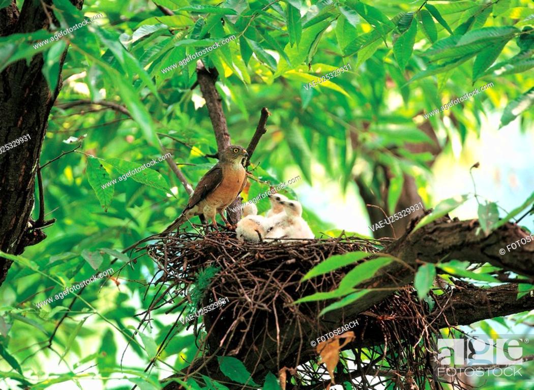 Stock Photo: vertebrate, nature, nest, bird, animal, film.