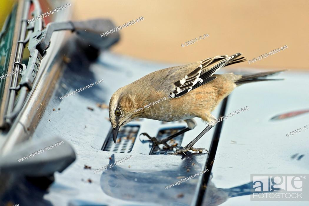 Imagen: Patagonian Mockingbird (Mimus patagonicus) adult, feeding on dead insects from car windscreen, Punta Norte, Valdes Peninsula, Chubut Province, Patagonia.