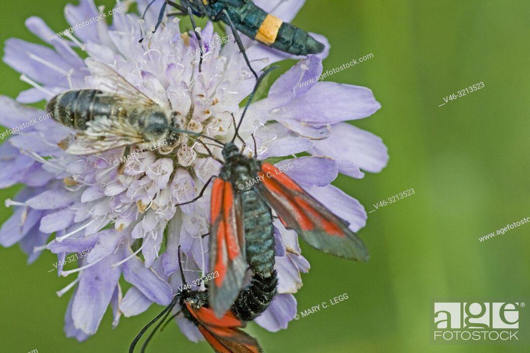 Stock Photo: Minos Burnet, Zygaena minos. Burnet moth with red markings. Wingspan: 33-37mm. Flies June-July. Originally named after host plant Pimpinella saxifraga.