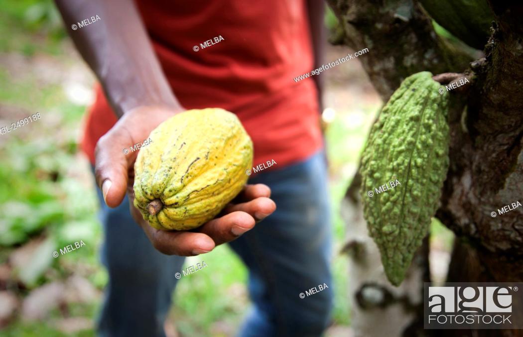 Stock Photo: Cocoa seem, Subre, Ivory coast.