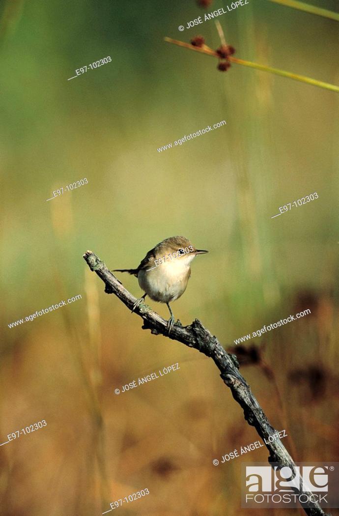 Stock Photo: Reed Warbler (Acrocephalus scirpaeus).