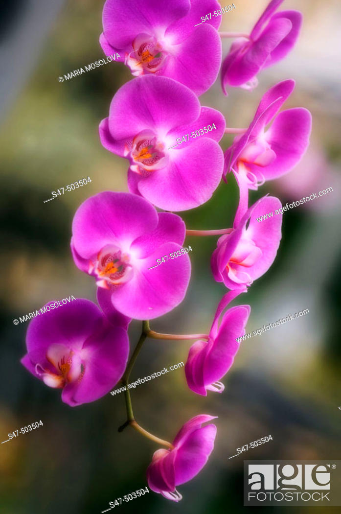 Stock Photo: Pink Phalaenopsis Orchid in Bloom. Maryland, USA.