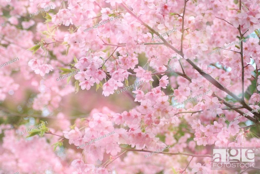 Imagen: Cherry flowers on branch, differential focus.