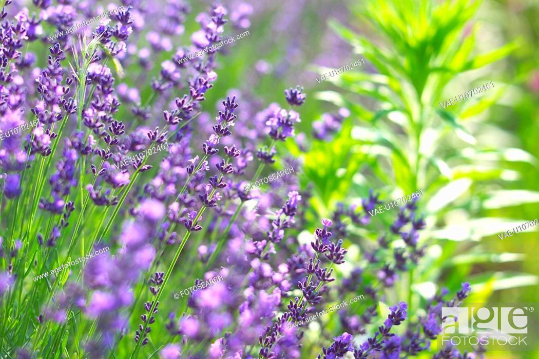 Stock Photo: Lavender.