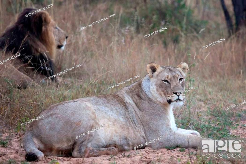 Stock Photo: lions of Tanzania National park.