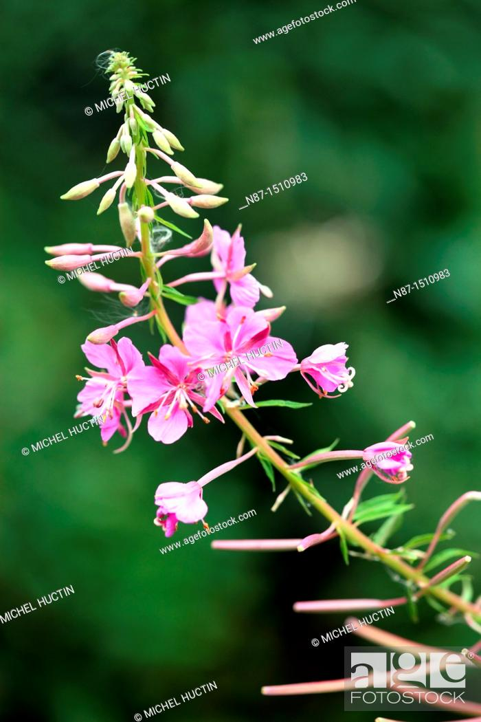 Stock Photo: Fireweed in the ear or bay of St. Anthony or Chamerion augustifolium or wicker flower Perennial of the family Onagraceae.