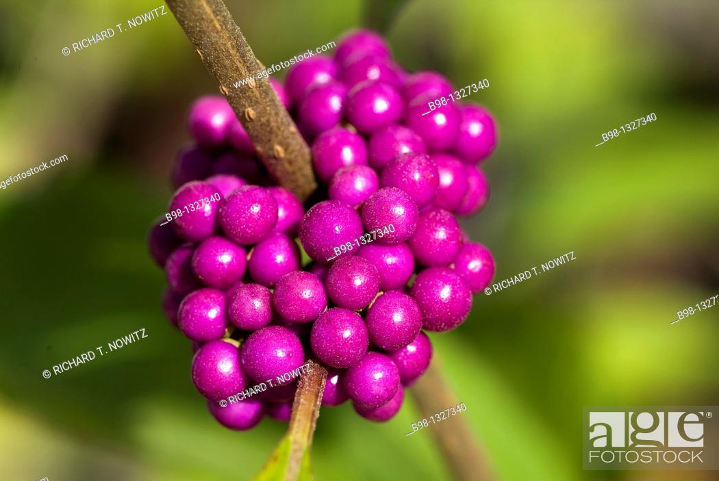 Stock Photo: Beautyberry Shrubs (Callicarpa Dichotoma).
