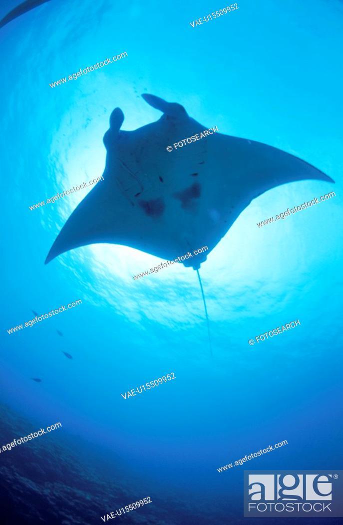 Stock Photo: Giant Manta Rays.