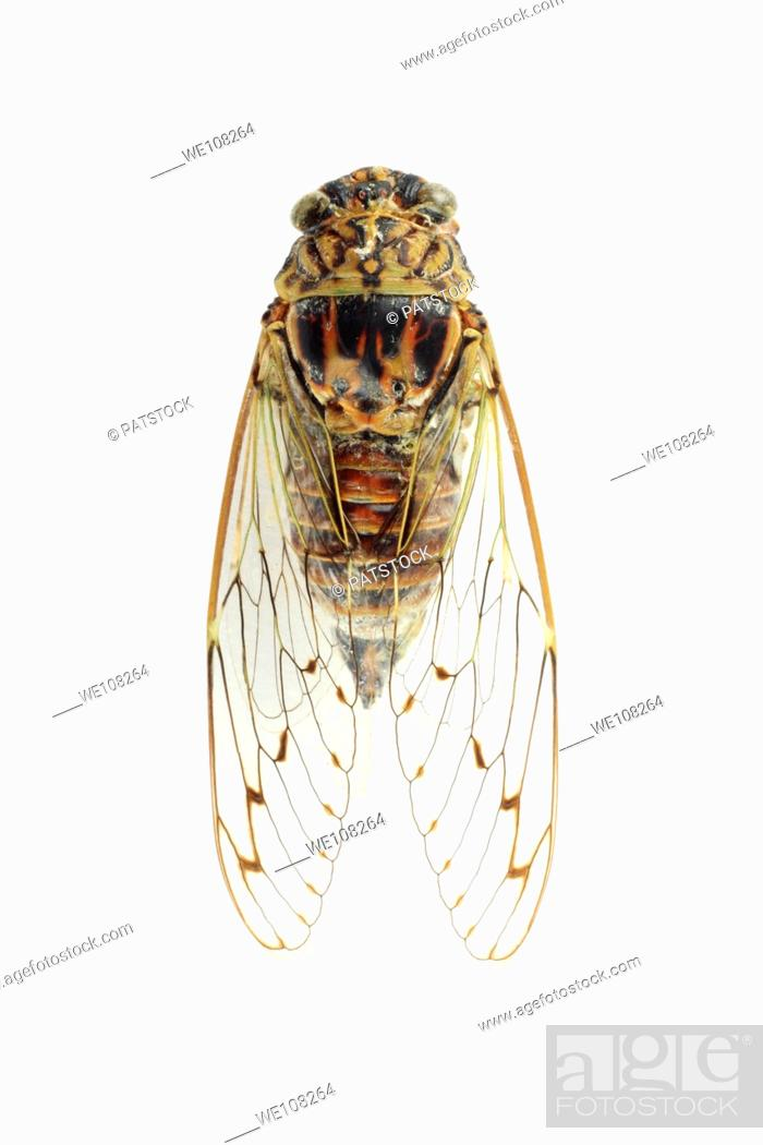 Stock Photo: Top view of European cicada Cicadetta mediterranea.