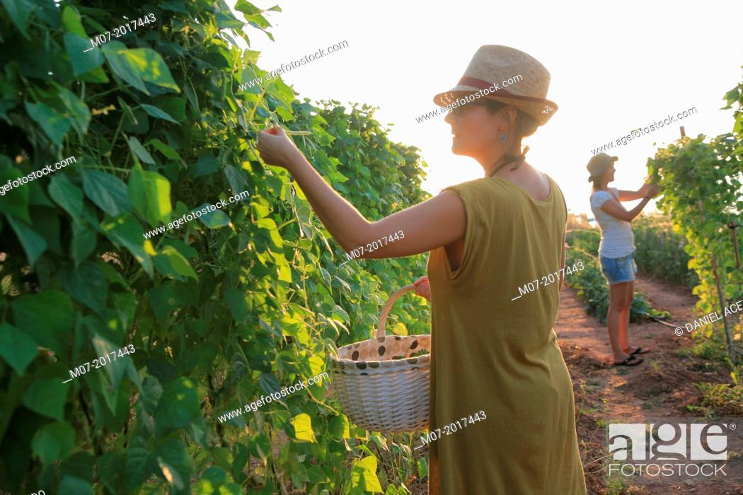 Imagen: Mediterranean organic farming, vegetable garden, Riojan red beens from Anguiano. La Rioja, Rioja wine región, Spain. Europe.
