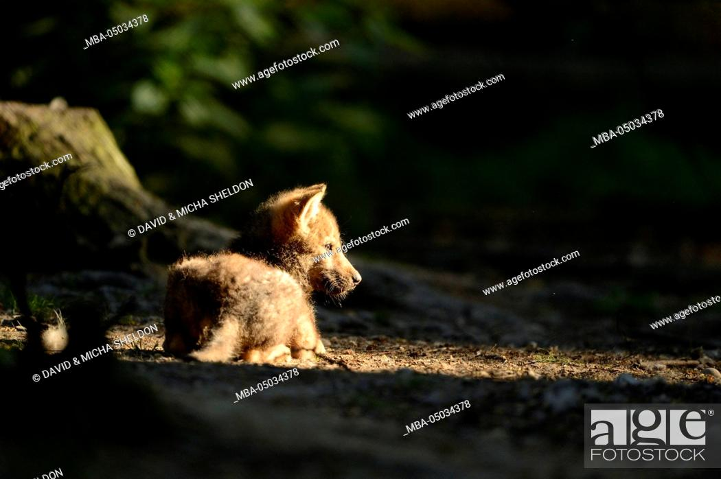 Stock Photo: Eurasian wolf, Canis lupus lupus, young animal, side view, lying.