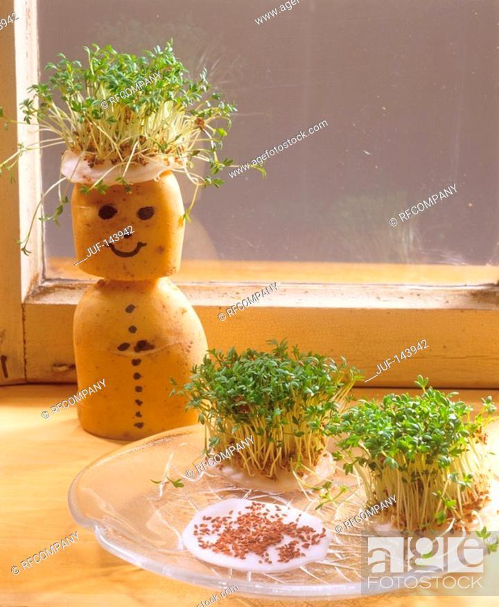 Stock Photo: garden cress / Lepidium sativum.