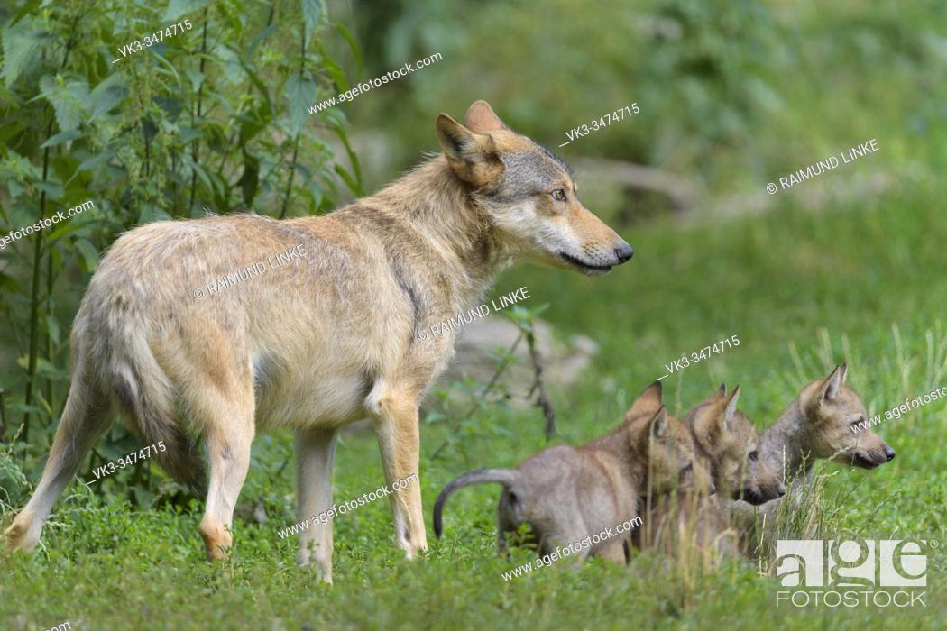 Stock Photo: Wolf, Canis lupus, adult with cubs.