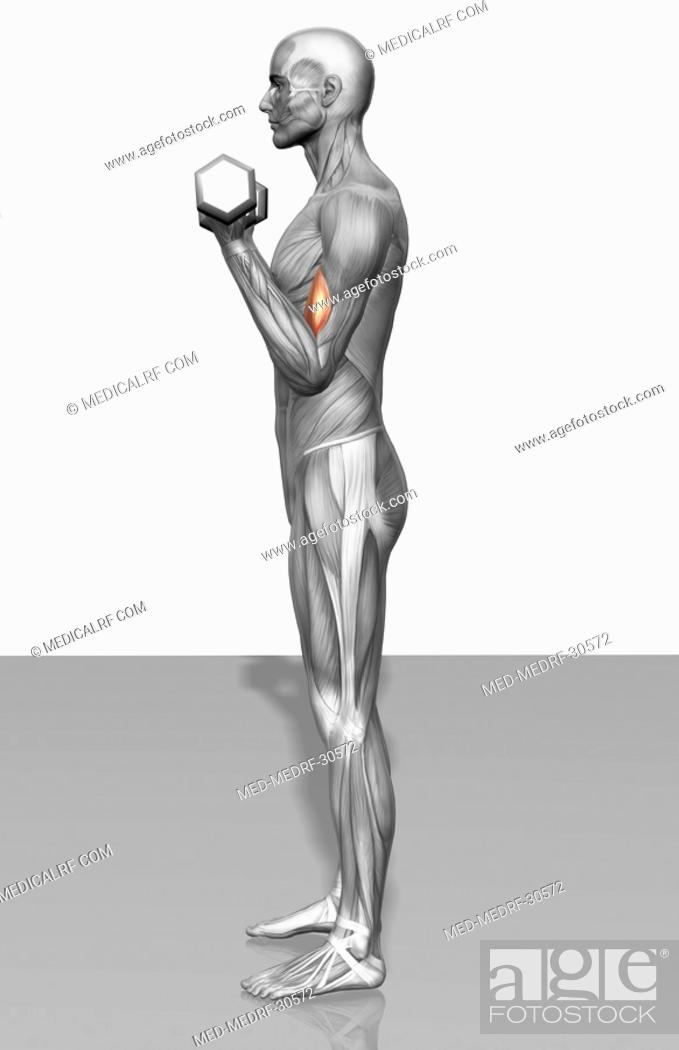 Stock Photo: Standing biceps curl Part 1 of 2.