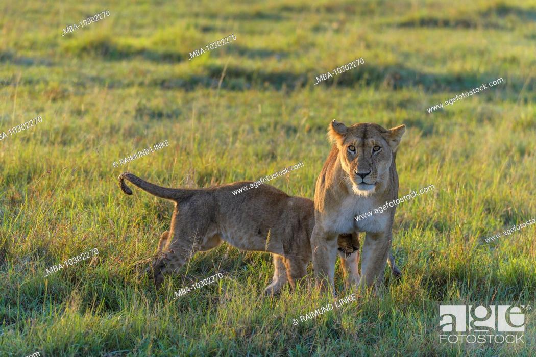 Stock Photo: African lion, Panthera Leo, lioness with cub, Masai Mara National Reserve, Kenya, Africa.