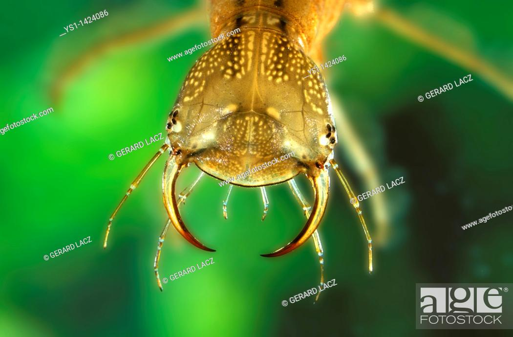Stock Photo: GREAT DIVING BEETLE dytiscus marginalis, HEAD CLOSE-UP OF LARVA, FRANCE.