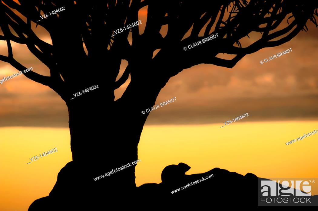 Stock Photo: Silhouette of Cape hyrax (Procavia capensis) sitting under a Quiver tree (Aloe dichotoma) at sunset, Quiver Tree Forest, Namibia.