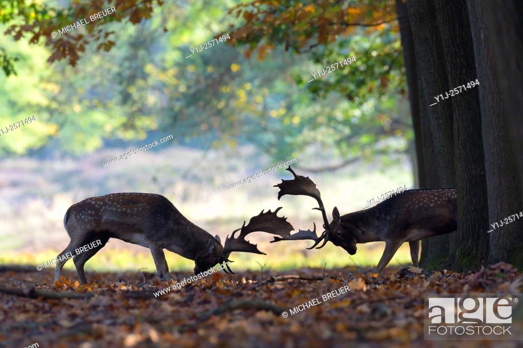 Imagen: Fighting Fallow Deers (Cervus dama) at Rutting Season, Hesse, Germany, Europe.