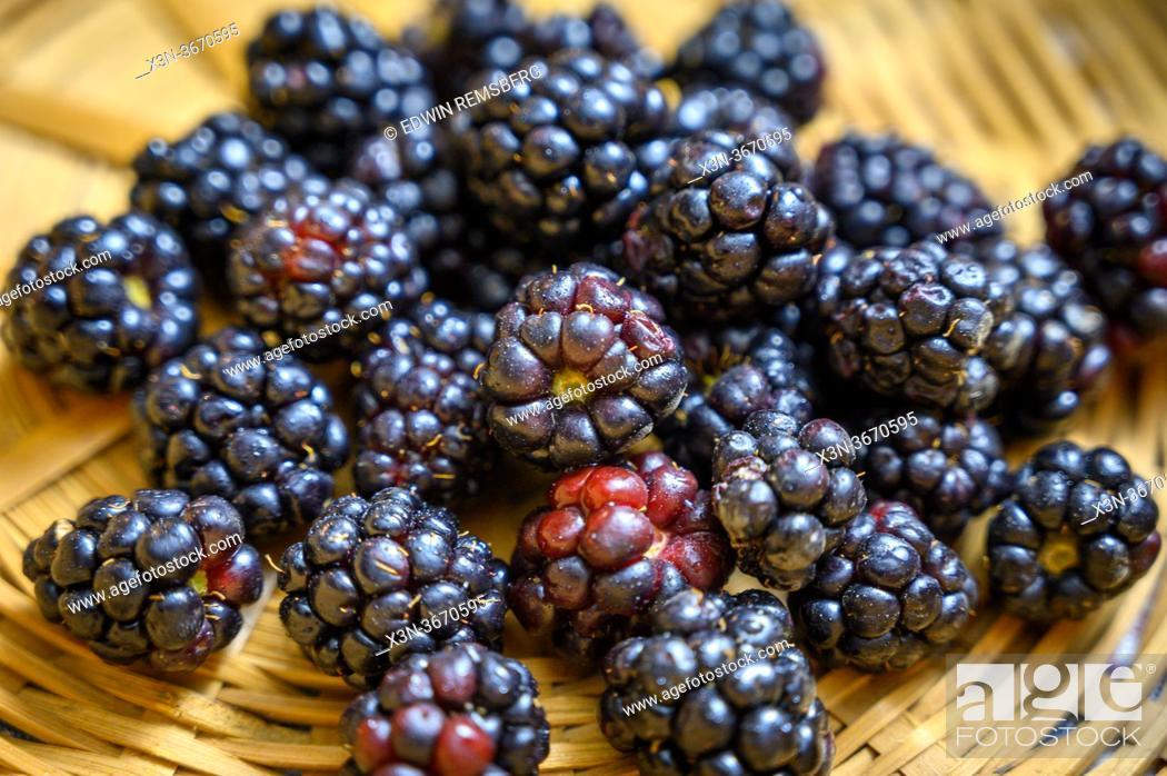 Stock Photo: Blackberries (Rubus), Fallston, MD.