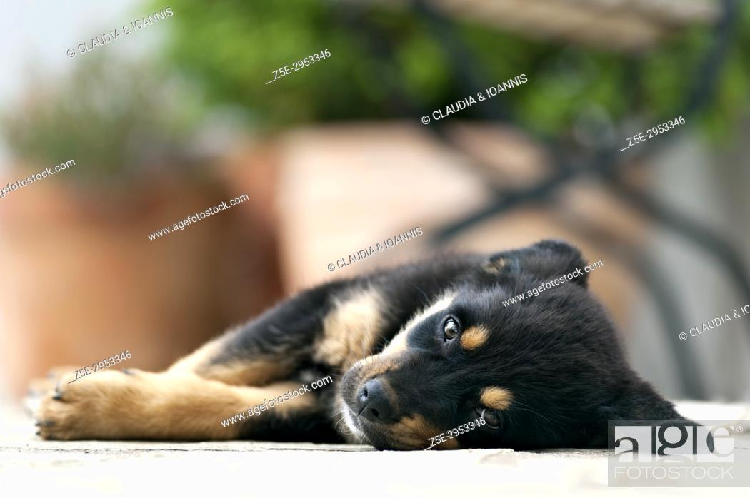 Stock Photo: Front view of a Rottweiler puppy lying outdoors and looking at camera.