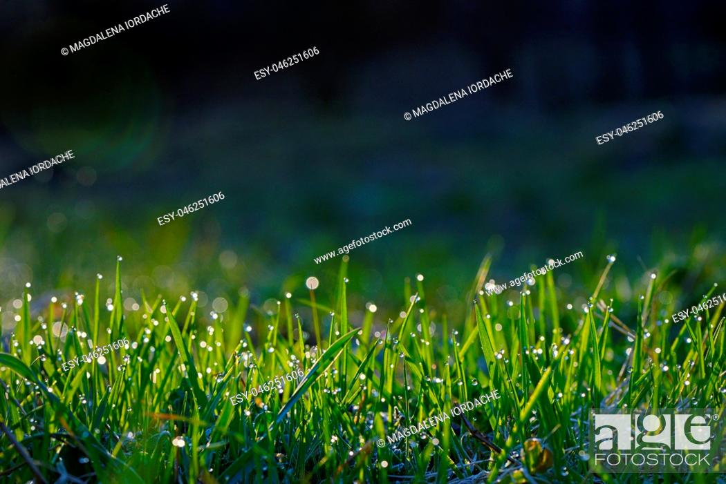 Stock Photo: Fresh grass on field with dew drops at sunrise.