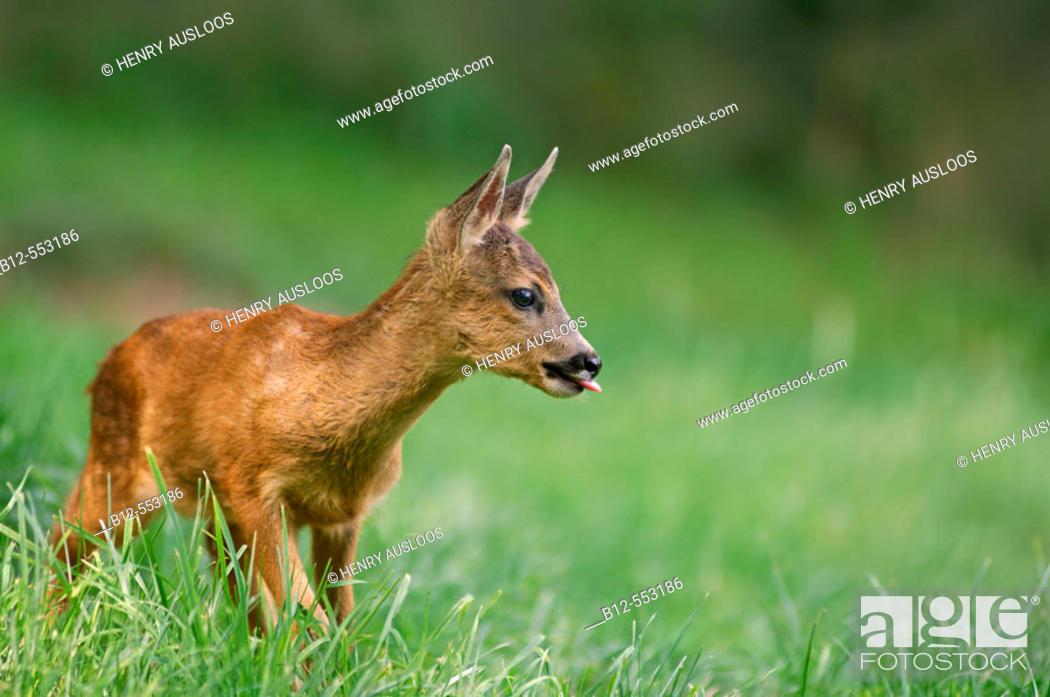 Stock Photo: Roe deer (Capreolus capreolus) fawn.