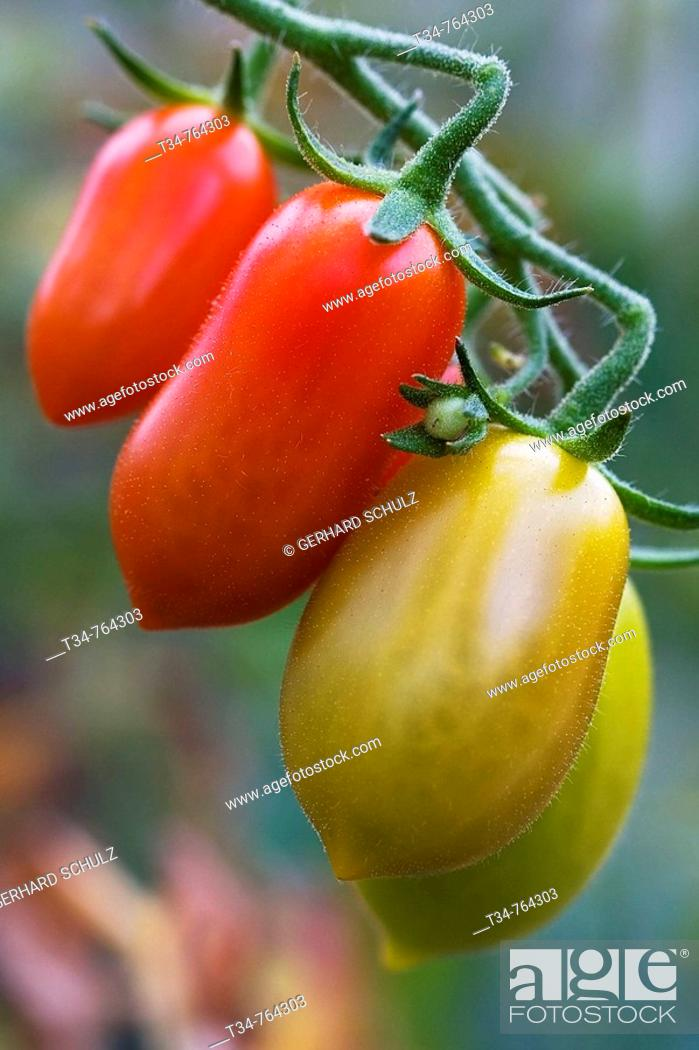 Stock Photo: Tomatoes. Schleswig-Holstein, Germany.