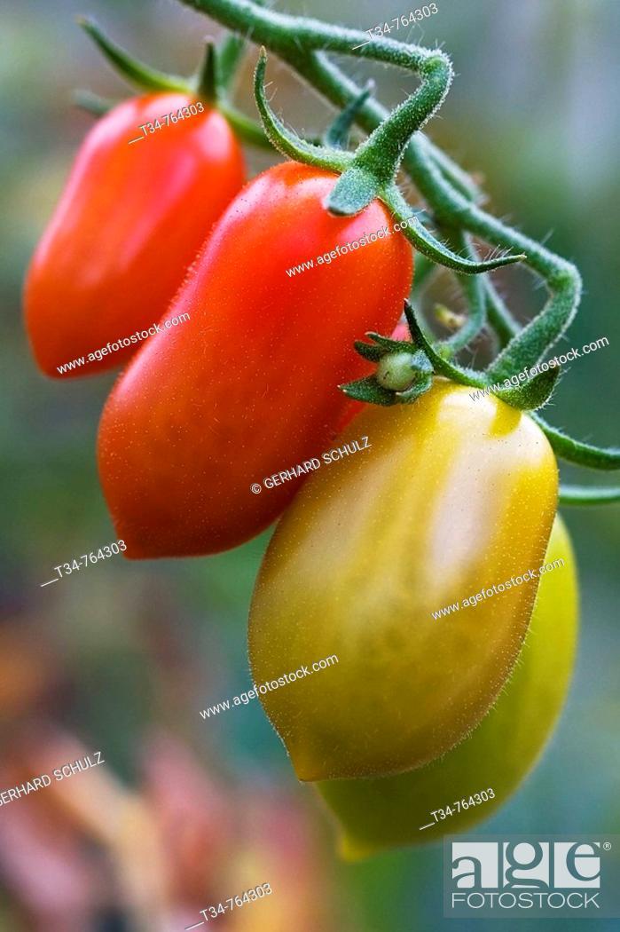 Stock Photo: Tomatoes. Schleswig-Holstein, Germany.