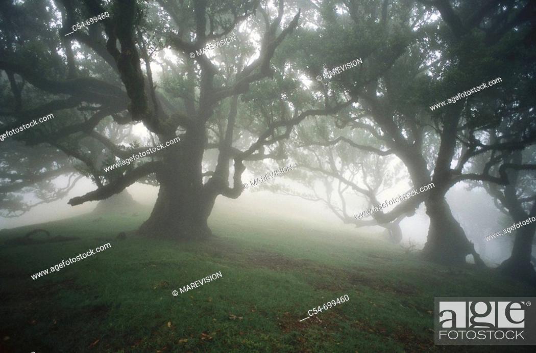 Stock Photo: Eastern Atlantic. Madeira islands. Laurel forest (Laurus azorica).