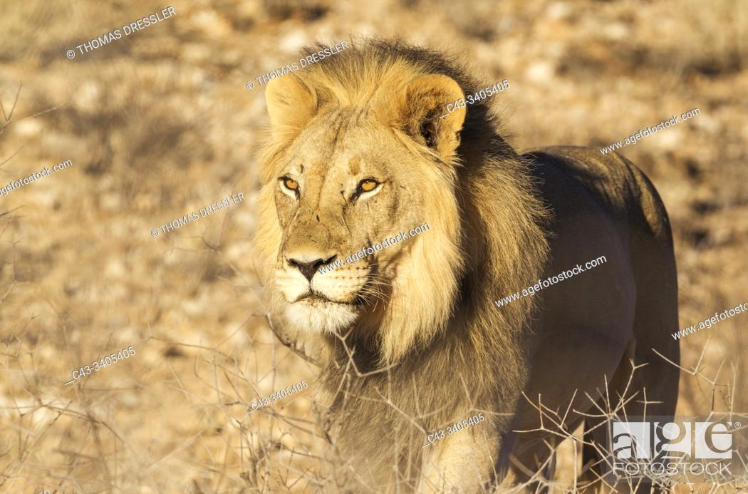 Stock Photo: Lion (Panthera leo). Black-maned Kalahari male. Kalahari Desert, Kgalagadi Transfrontier Park, South Africa.